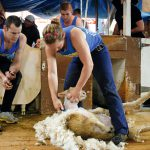 sheep_shearer_welch